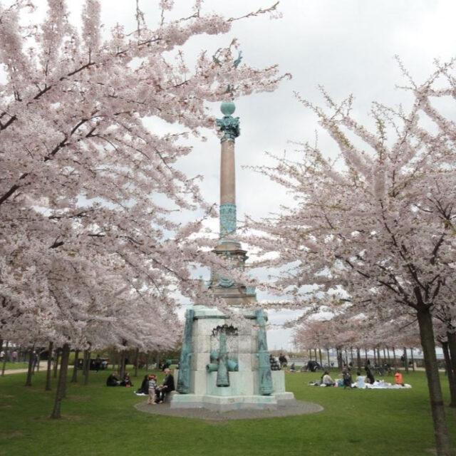 デンマークの桜