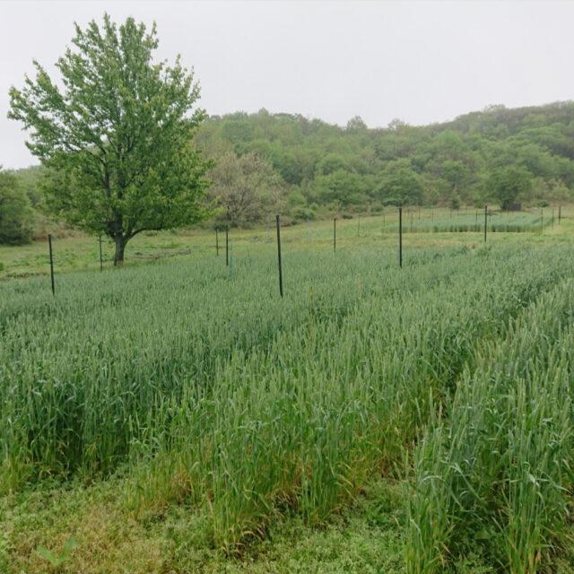まもなく青麦の季節を迎えます。